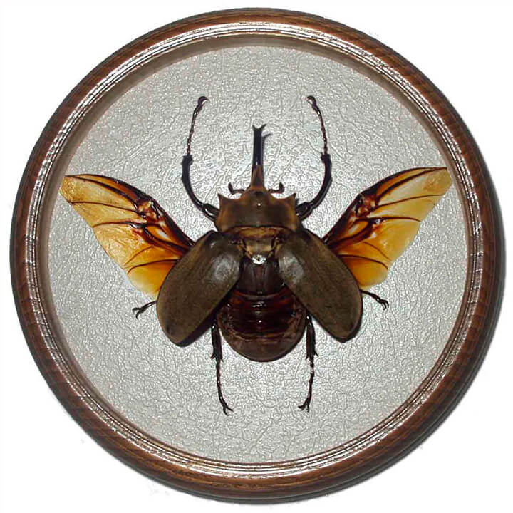 Megasoma Elephas жук в рамке сувенир