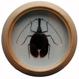 Mormolyce phyllodes жук в раме