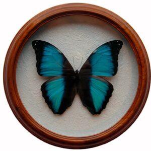 Morpho neoptolemus засушенная бабочка под стеклом в раме