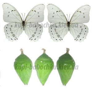 Morpho polyphemus  куколка бабочки