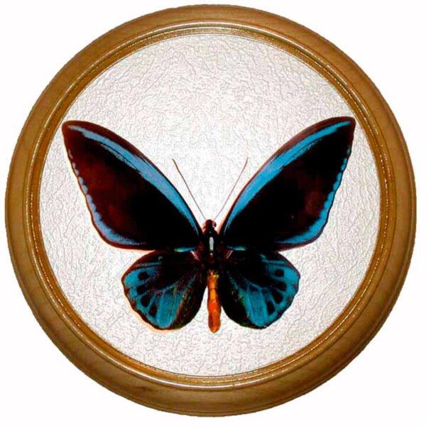 Ornithoptera urvilleanus m бабочка врамке
