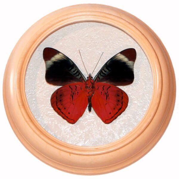 Panacea Prola сувенир бабочка в рамке