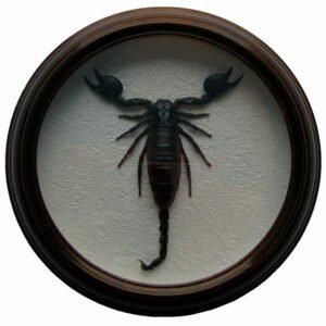 Pandinus Kavimanus скорпион в рамке сувенир