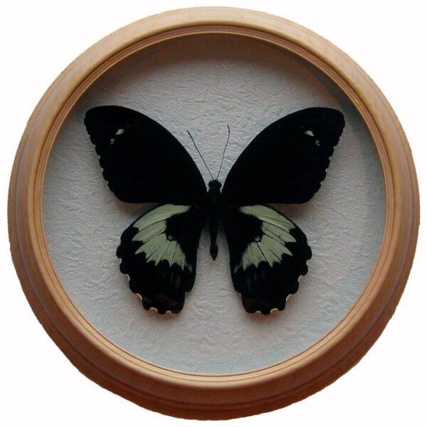 Papilio Gambrisius бабочка в рамке