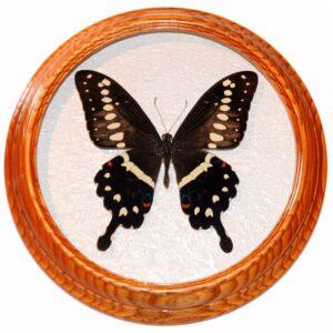 Papilio Lormieri засушенная бабочка сувенир