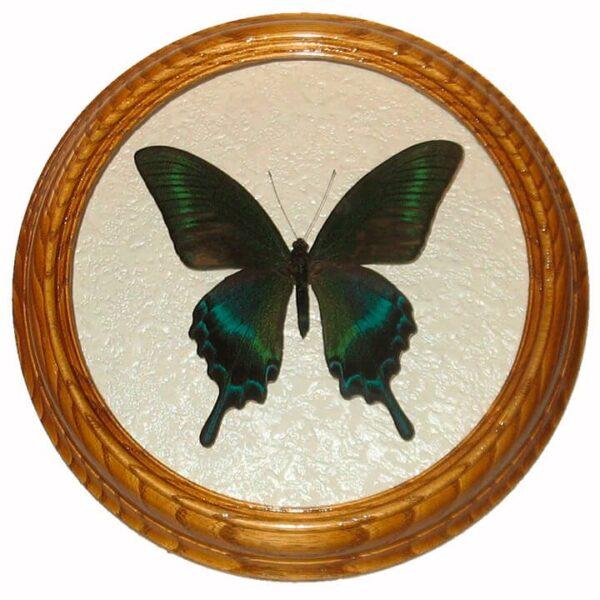 Papilio Maackii засушенная бабочка под стеклом