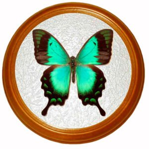 Papilio lorquinianus засушенная бабочка в раме