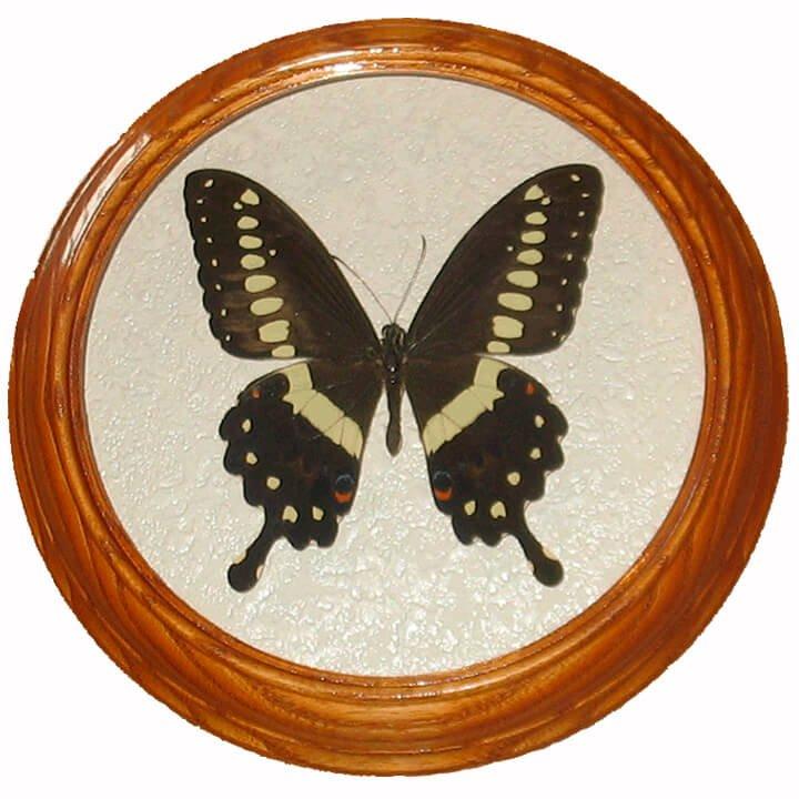 Papilio ophidicephalus бабочка засушенная в рамке