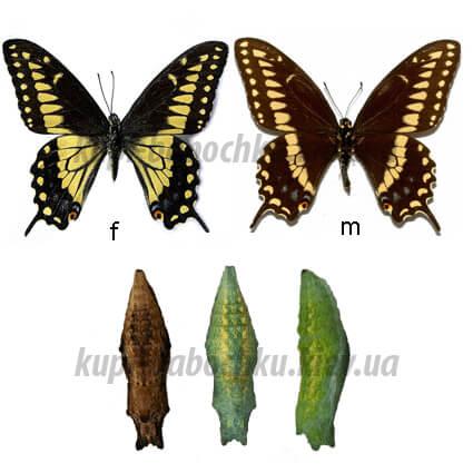 Papilio Polyxenes куколки бабочки