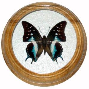 Polyura Cognata бабочка в круглой рамке