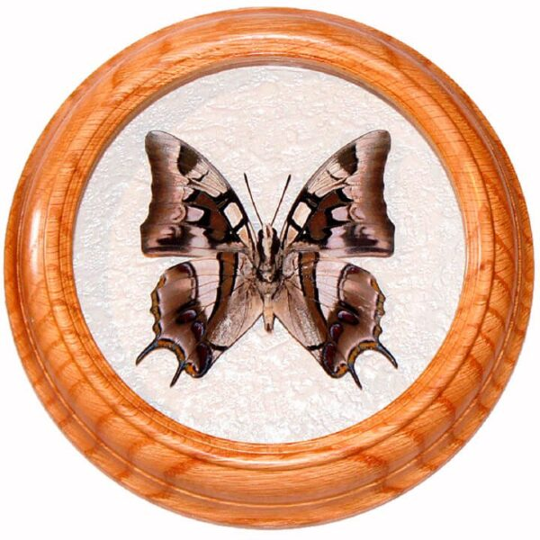 Polyura Cognata низ бабочка в рамке