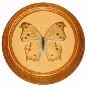 Salamis Parhassus бабочка в рамке