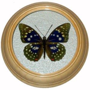Sasakia Charonda засушенная бабочка под стеклом