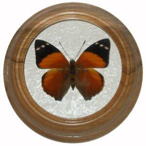Smyrna Blomfildia засушенная бабочка в раме