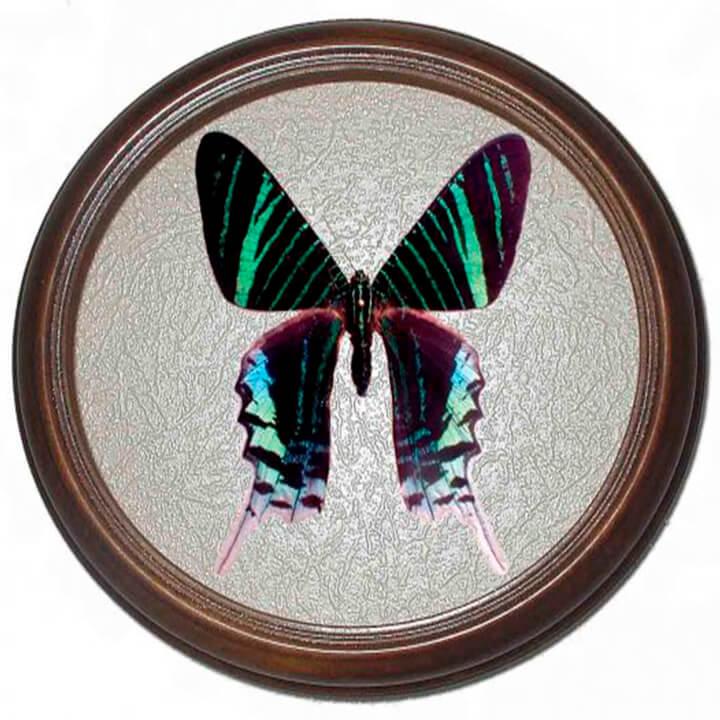 Urania leilus засушенная бабочка в рамке