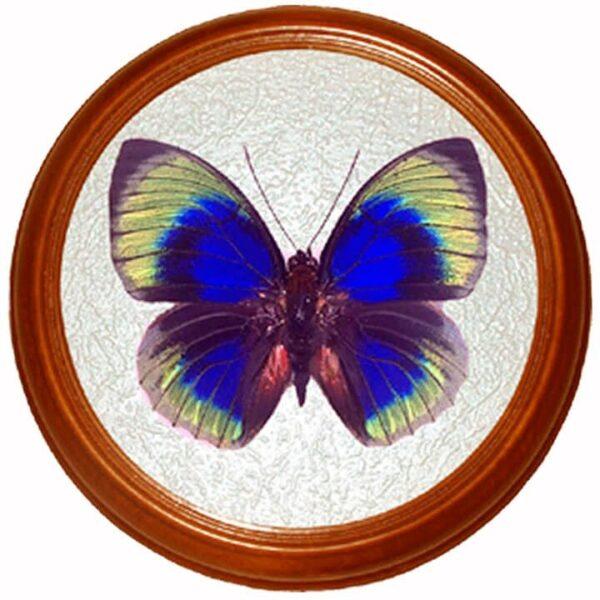 agrias beata бабочка в раме