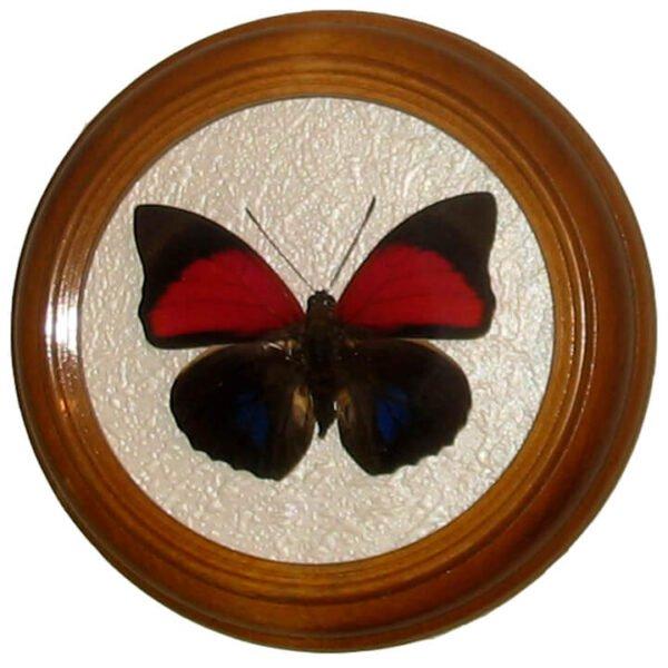 agrias claudina бабочка в рамке под стеклом