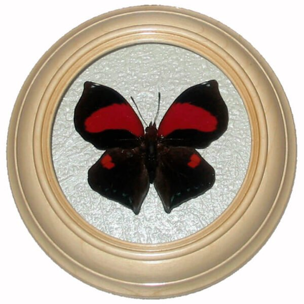 anaea marthesia засушенная бабочка в рамке сувениры