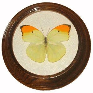 anteos Menippe бабочка в рамке сувенир