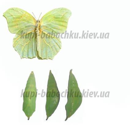 anteos clorinde куколка бабочки