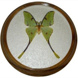 argema mimosae m сувенир бабочка в раме