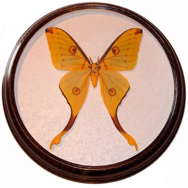 argema mitrei бабочка в рамке сувенир