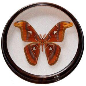 attacus Atlas m засушенная бабочка в круглой рамке сувенир