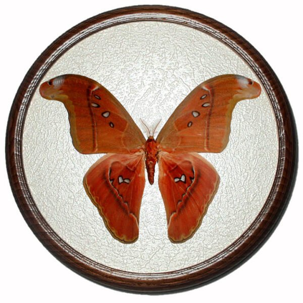 attacus Caesar засушенная бабочка сувенир