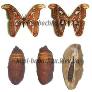 attacus atlas с водяным