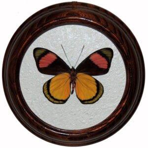 Batesia Hypochlora засушенная бабочка в рамке сувенир