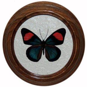 batesia hypochlora сувенир бабочка в рамке под стеклом