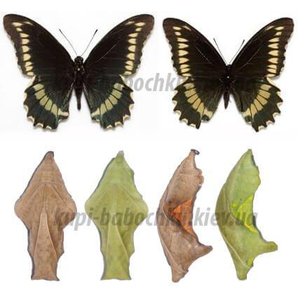 battus polydamus куколки бабочек