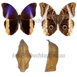 Caligo Atreus куколка бабочки