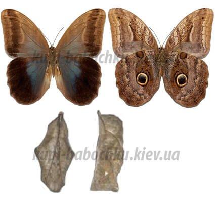 Caligo Eurilochus куколка бабочки