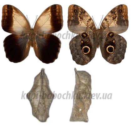 Caligo Memnon куколки бабочки