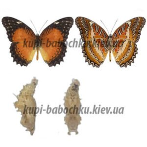 Cethosia Biblis куколки