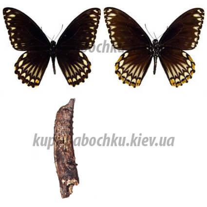 chilasa clytia phalephates куколка бабочки