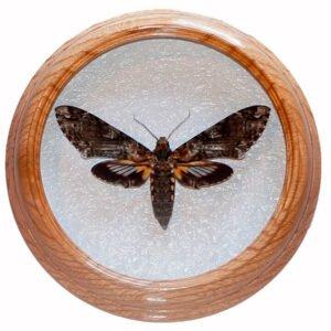 cocytius antaeus сушенная бабочка в раме