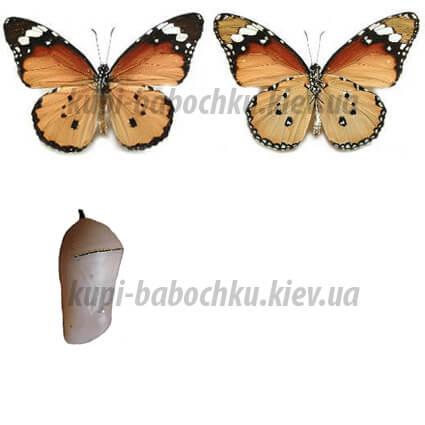 Danaus Chrysippus куколки бабочки
