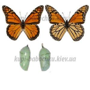Danaus Plexippus куколки бабочки