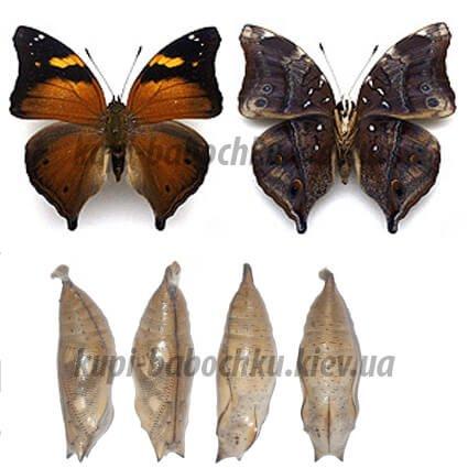 куколки бабочек dolechailia bisaltide
