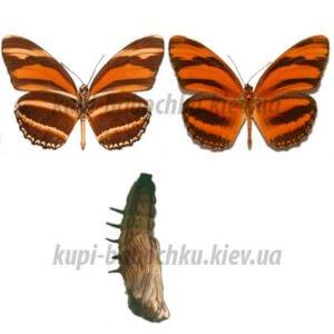 dryadula phaetusa куколки бабочек