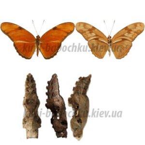 dryas julia куколка бабочки