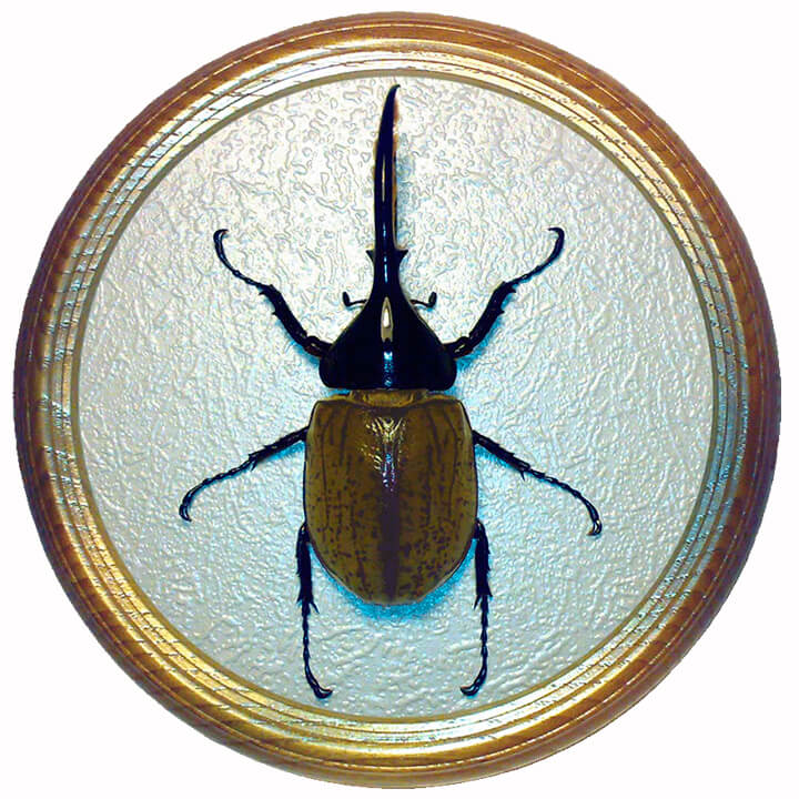 dynastes hercules жук в рамке сувенир