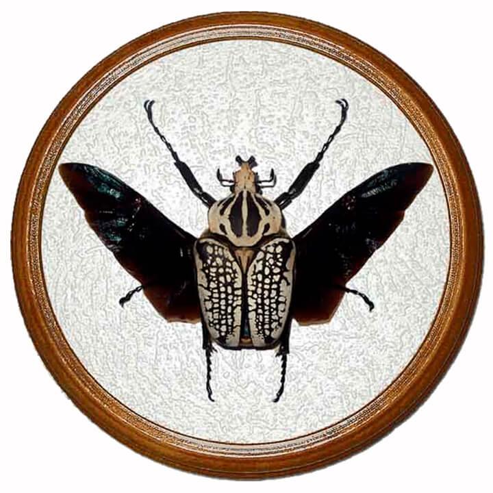 goliathus orientalis жук в раме сувенир