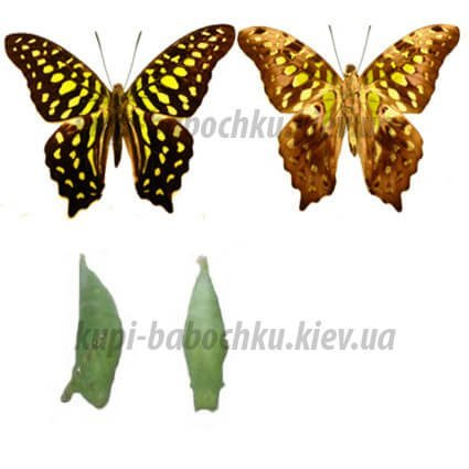 Graphium Agamemnon куколка бабочки