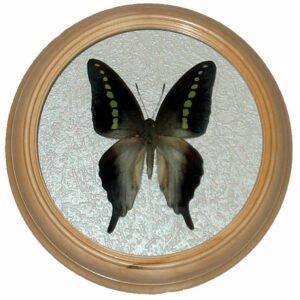 graphium codrus сувенирная бабочка в рамке