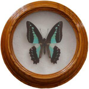 graphium sarpedon сувенир бабочка в деревянной рамке