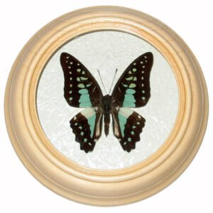 graphium stratocles бабочка в багете