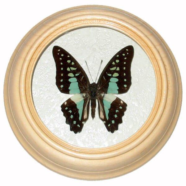 graphium stratocles бабочка в багете